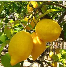 """Sorrento Lemons """"Nonno..."""