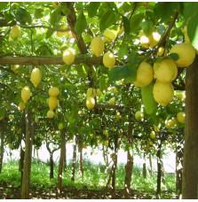 """Limoni di Sorrento """"Nonno..."""